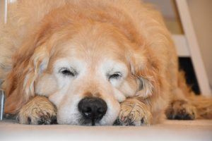 長生きする犬